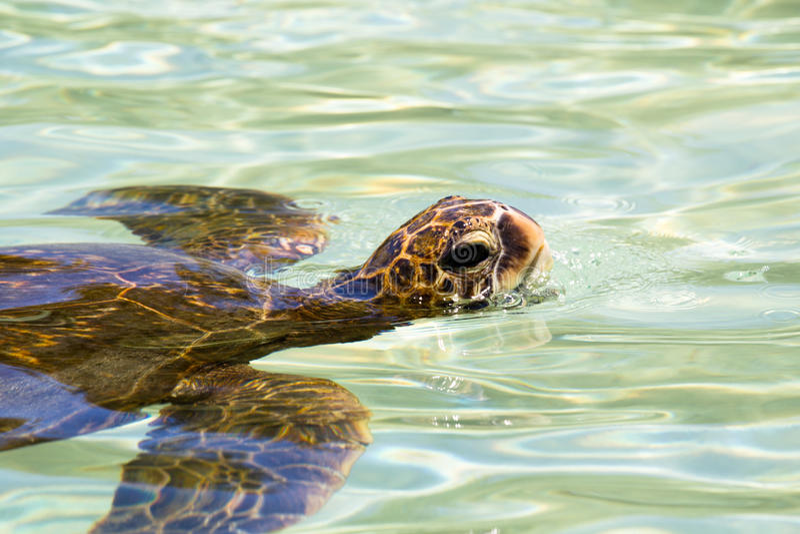 Mydas del Chelonia de la tortuga de mar verde imagen de archivo libre de regalías