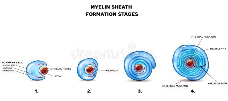 Myelin sheath neuron ilustracji