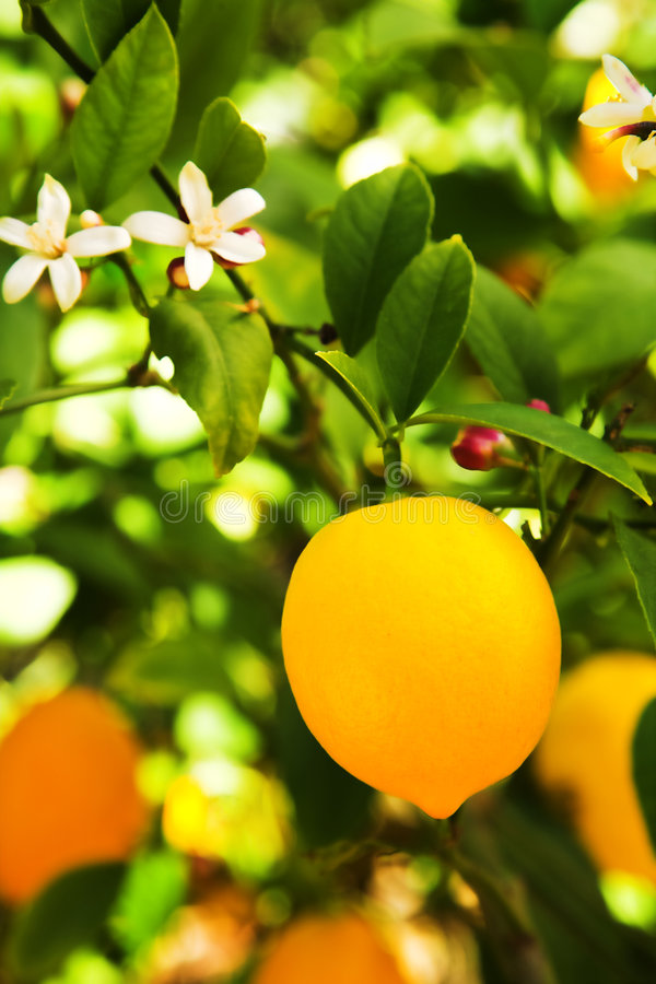 Myer Lemon royalty free stock image