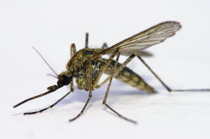 Mygga arkivbilder
