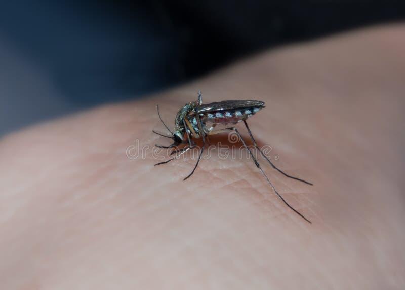 Mygga som suger blod av en man royaltyfria bilder