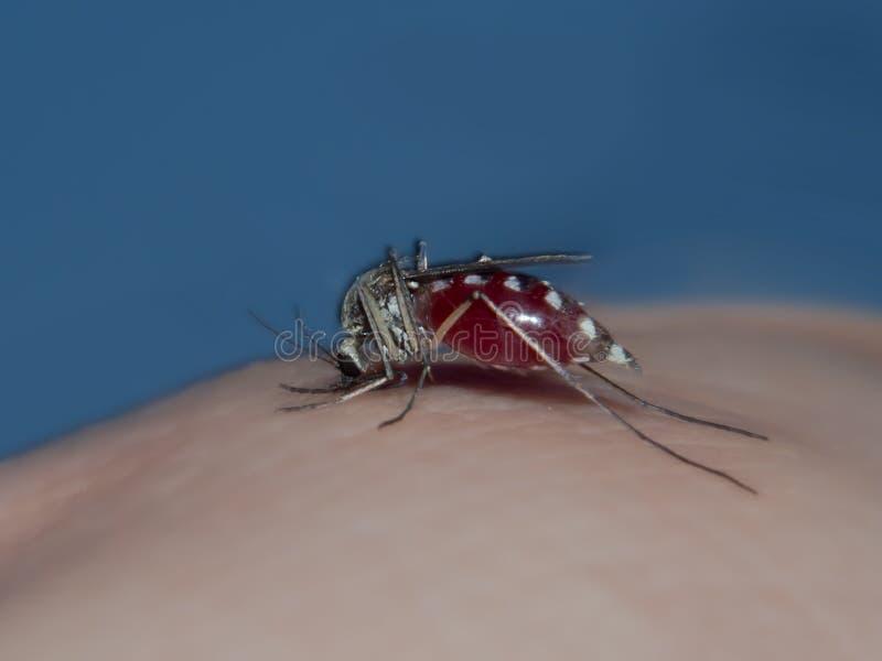Mygga som suger blod av en man royaltyfri foto