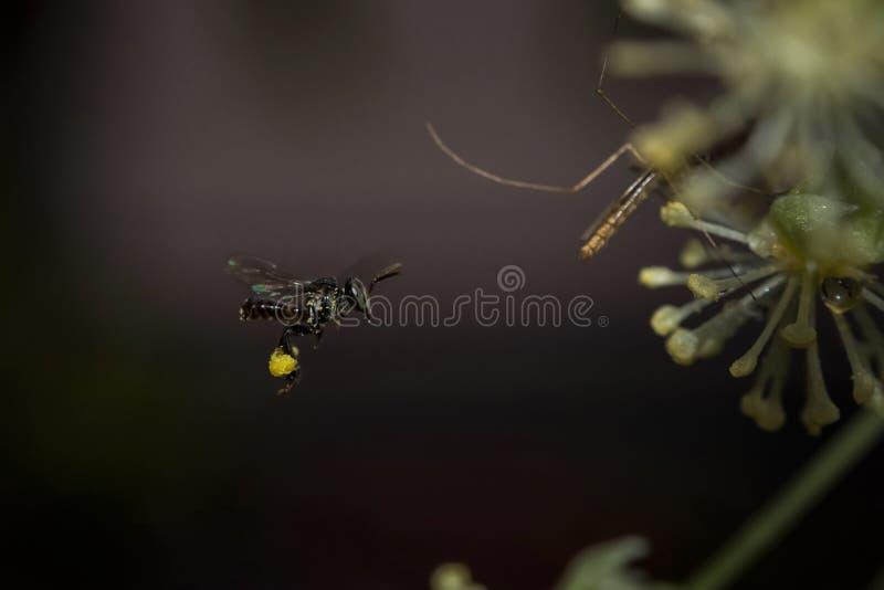 Myggaflyg med pollen på dess ben royaltyfria foton