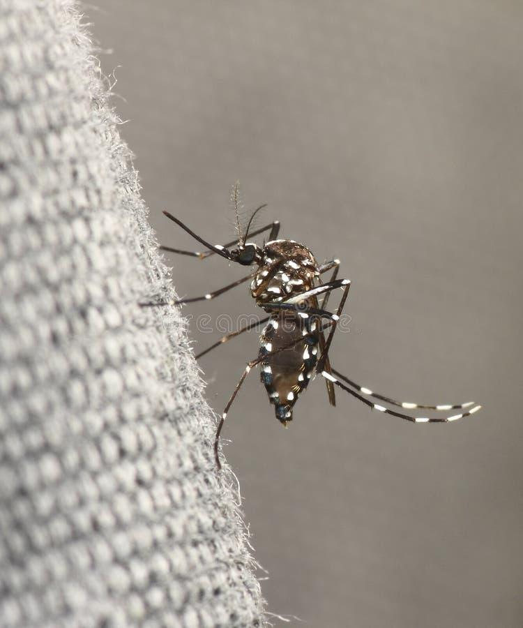 myggatiger fotografering för bildbyråer