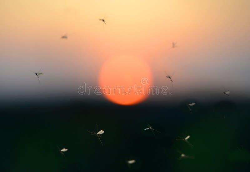 myggor royaltyfria bilder