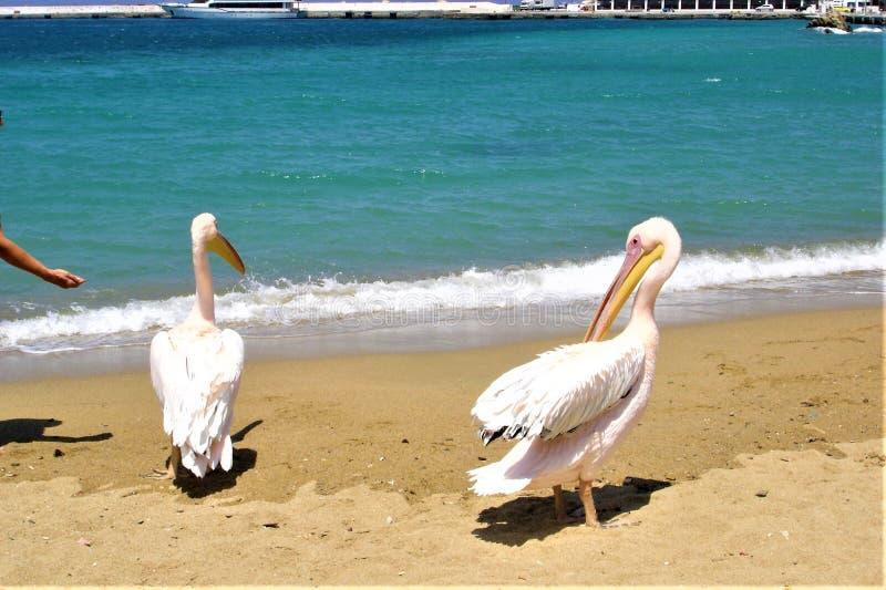 Mykonos, sjösida, pelikan, sommar och grekisk ö arkivfoton