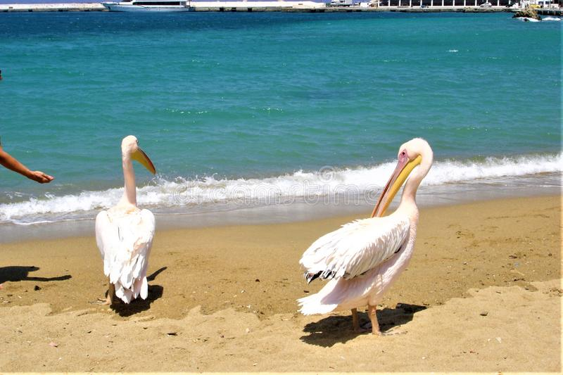 Mykonos, spiaggia, pellicani, estate ed isola greca fotografie stock