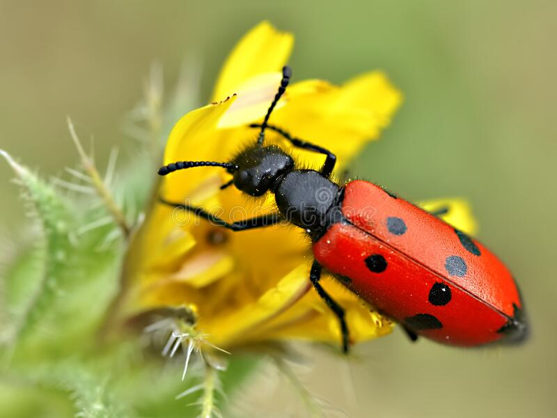Mylabris beetle on yellow flower royalty free stock photos