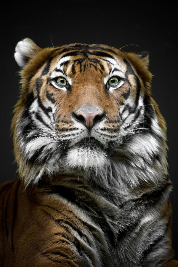 Mylayan tiger - slut upp framsidatiger - Prague zoo arkivbilder