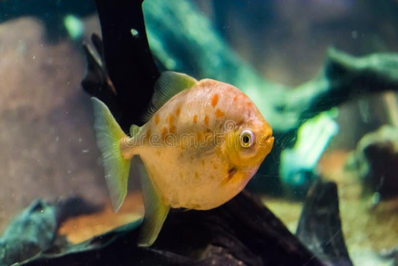 Myleus de Redhook una especie de los pescados del dólar de plata con las escalas brillantes y relucientes y el animal doméstico t imagen de archivo libre de regalías