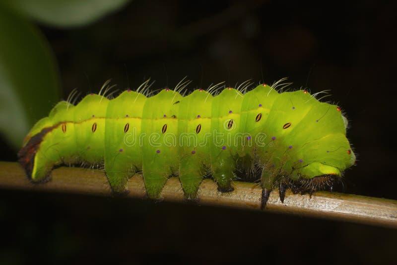 Myllita Tasar Silkmoth oder Antherea, Caterpillar, Mumbai, Maharashtra stockfotografie