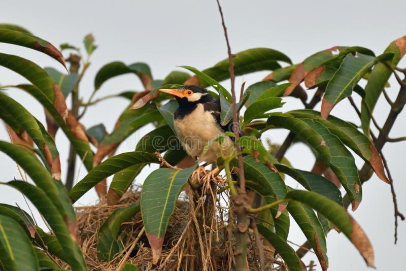 Myna и ее гнездо стоковые фотографии rf