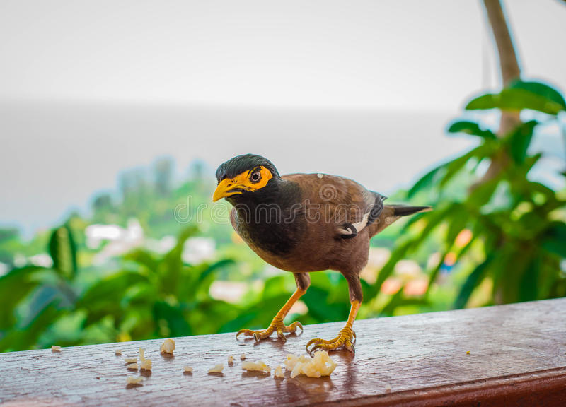 Myna bird standing. Common myna, Indian myna, Mynah (Acridotheres tristis) royalty free stock photography
