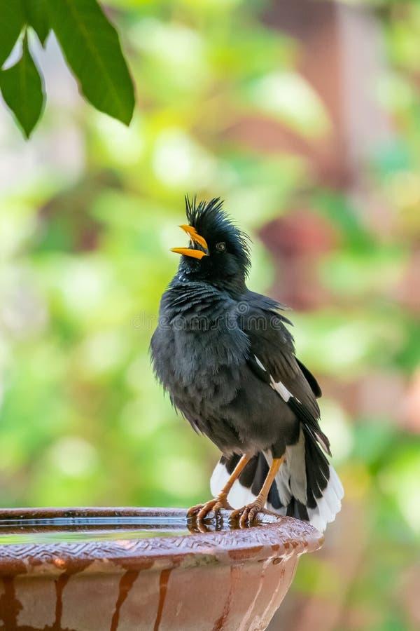 Myna Blanc-exhalé étant perché sur la cuvette d'argile de l'eau et soufflant vers le haut du plumage image stock