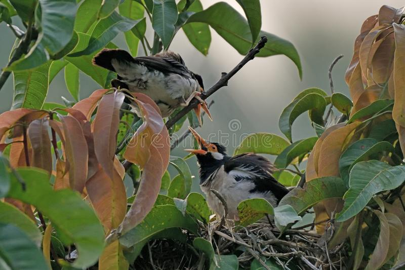 Myna Chick in in the Nest. A Myna Chick Talking to it`s mother or probably taking instruction for a flying lesson from the nest stock photography