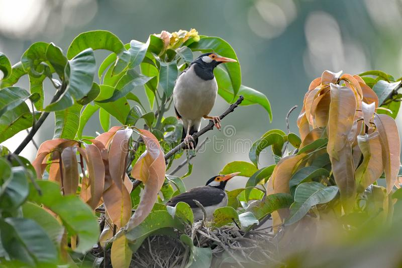 Myna Chick in in the Nest. A Myna Chick Talking to it`s mother or probably taking instruction for a flying lesson from the nest stock photos