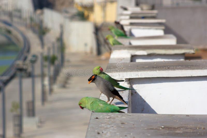 Myna comune e pappagalli indiani immagini stock