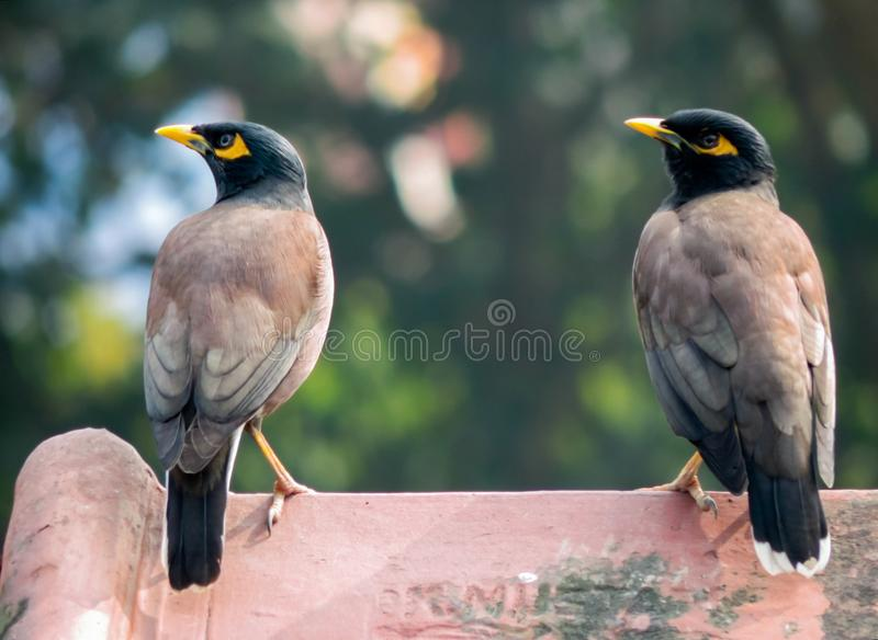 Myna de Myna Indian Common photos libres de droits