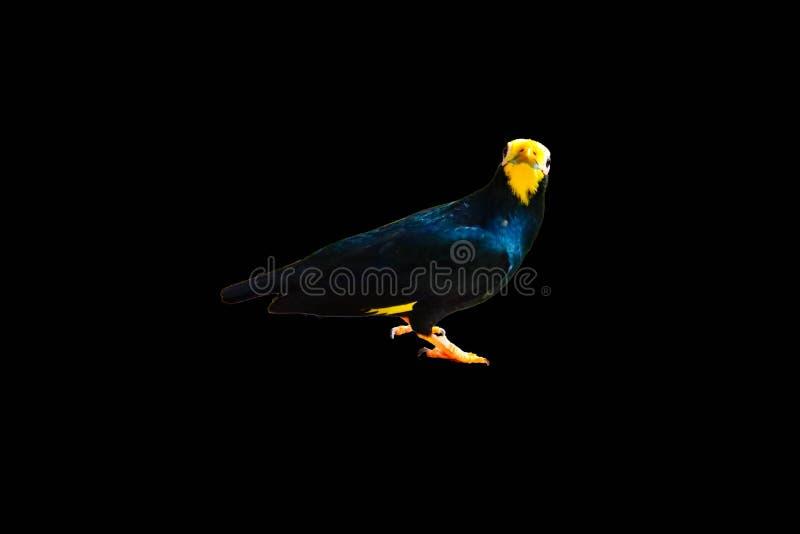 Myna Dourado-com crista isolou-se fotografia de stock