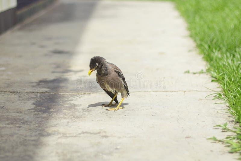 myna vogel auf dem boden stockfoto bild von wild park 56550620. Black Bedroom Furniture Sets. Home Design Ideas