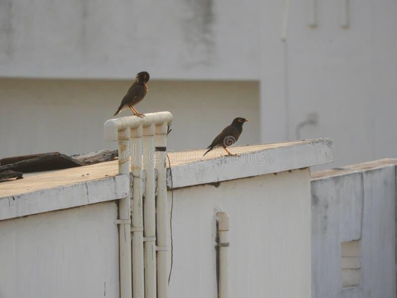 Mynas o uccelli indiani comuni immagine stock