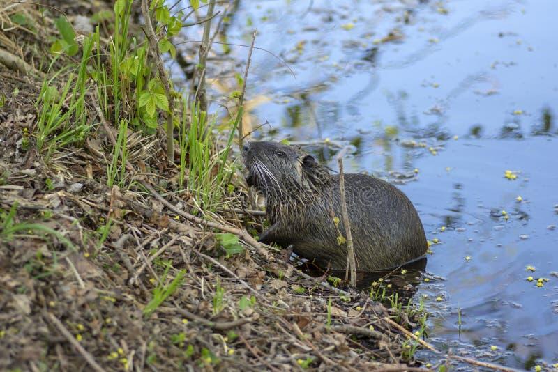 Myocastor巨水鼠是大食草半水生的啮齿目动物,在河岸的小长毛的野兽吃绿色植物的 库存图片