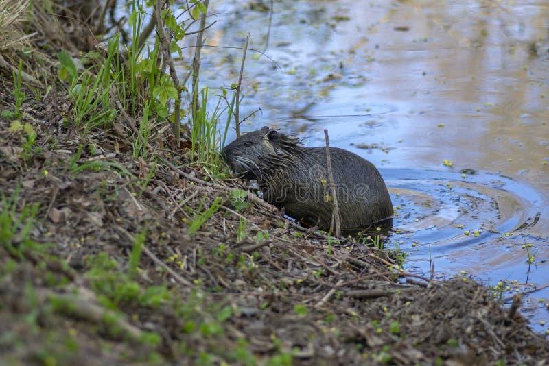 Myocastor巨水鼠是大食草半水生的啮齿目动物,在河岸的小长毛的野兽吃绿色植物的 库存照片