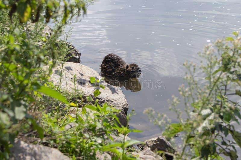 Myocastor巨水鼠是大食草半水生的啮齿目动物,小长毛的野兽游泳在河 免版税库存照片