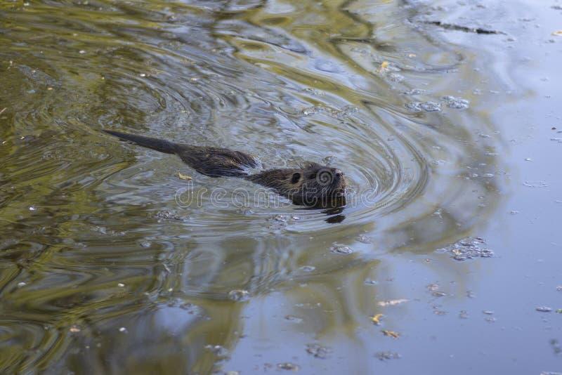 Myocastor巨水鼠是大食草半水生的啮齿目动物,小长毛的野兽游泳在河 库存照片