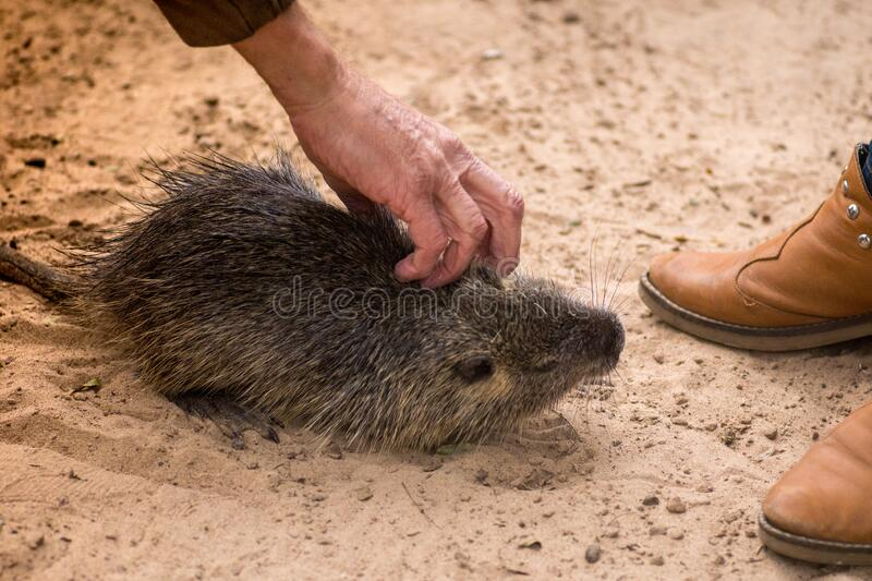 Myocastor coypus, called coypu, coypu, rodent otter, chia or otter, is a species of histricomorphic rodent typical of southern royalty free stock photos