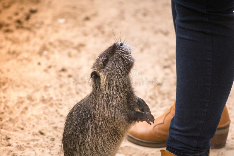 Myocastor coypus, called coypu, coypu, rodent otter, chia or otter, is a species of histricomorphic rodent typical of southern royalty free stock photography