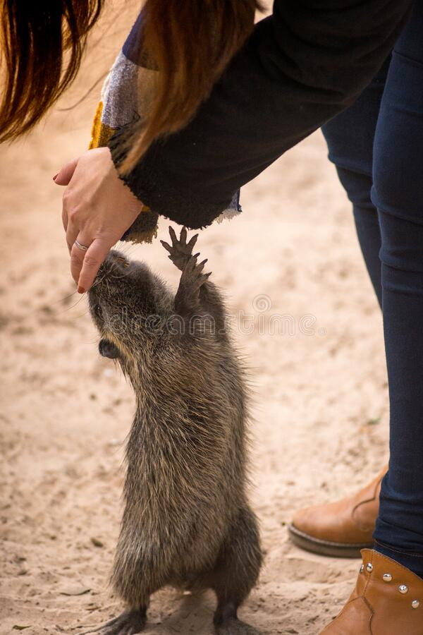 Myocastor coypus, called coypu, coypu, rodent otter, chia or otter, is a species of histricomorphic rodent typical of southern stock images