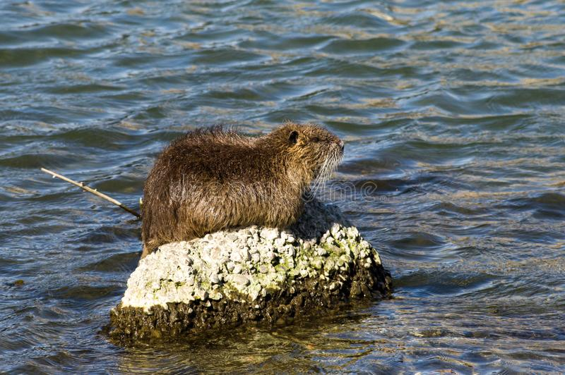 Myocastor de Coypu, Nutria photos stock