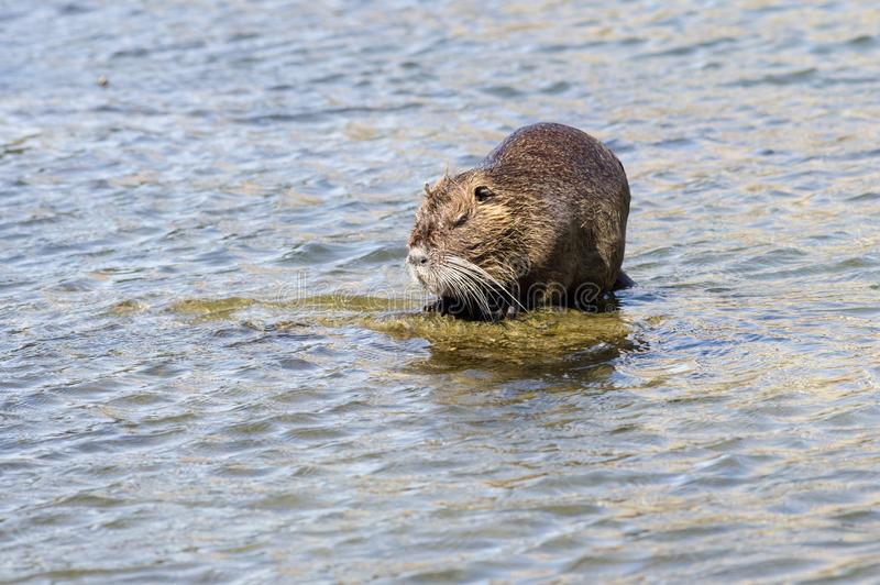 Myocastor de Coypu, Nutria images stock