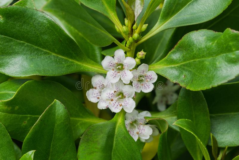 Myoporumlaetum; Ngaioboom inheems aan Nieuw Zeeland en beschouwd in Californië als invasief royalty-vrije stock fotografie