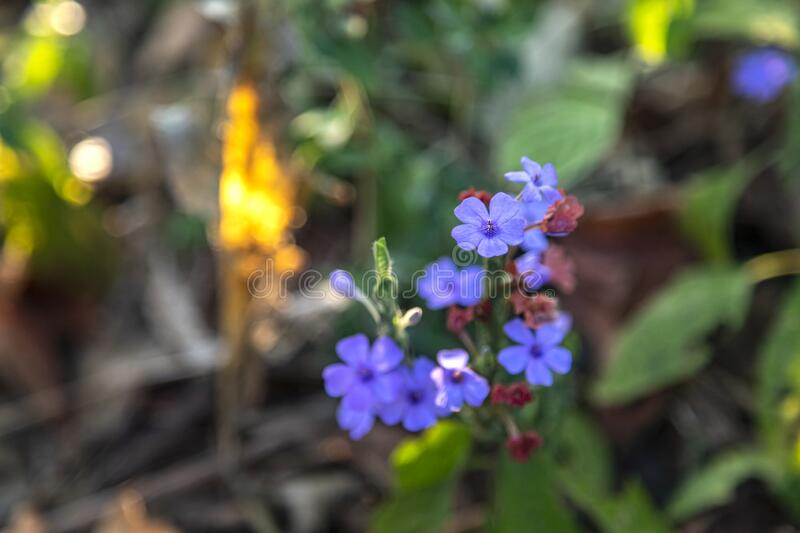 Myosotis alpestris or alpine forget me not is a herbaceous perennial plant in the flowering plant family Boraginaceae.  stock images