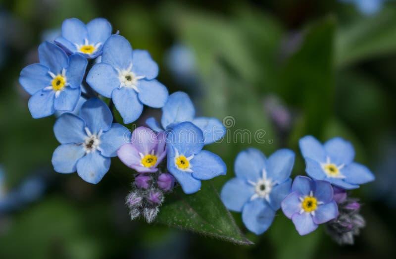 Myosotis blauwe bloemen in de tuin in de vroege lente royalty-vrije stock afbeeldingen