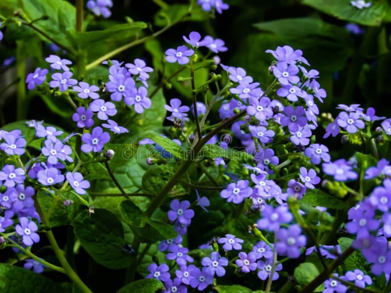 Myosotis, blauwe bloemen royalty-vrije stock afbeeldingen
