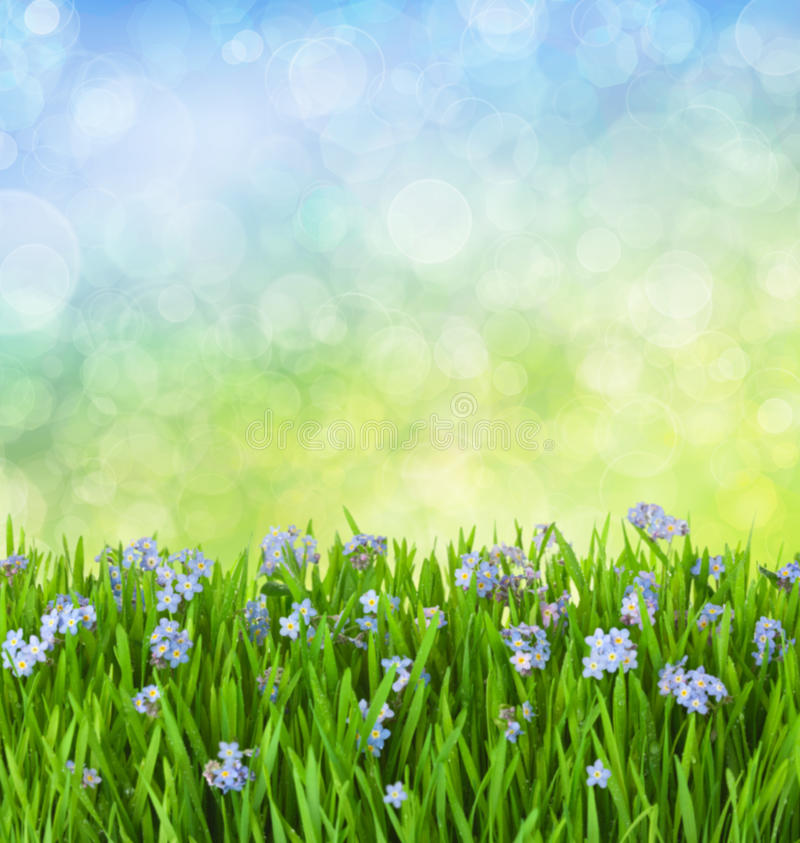 Myosotis Blue Flowers into Green Grass stock photography