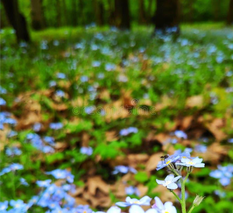 Myosotis des marais dans la forêt image libre de droits