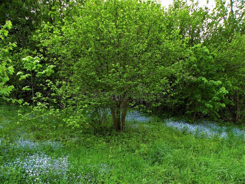 Myosotis en prado verde fotografía de archivo libre de regalías