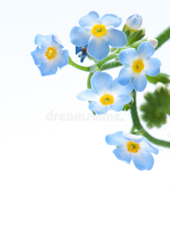 Myosotis or forget-me-not isolated royalty free stock photo