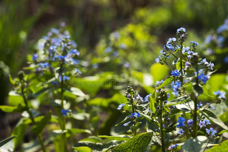 Myosotis Forget Me Not, Scorpion grasses - flowering small blue flowers, background. Delicate spring Plant in the garden,. Concept stock photography