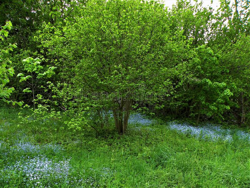 Myosotis no prado verde fotografia de stock royalty free