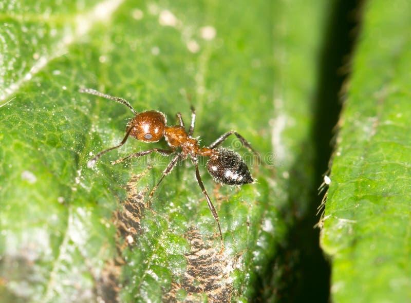 Myra i natur Närbild royaltyfria bilder
