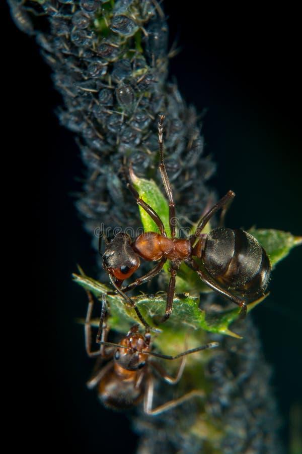 Myra och bladlöss royaltyfri foto