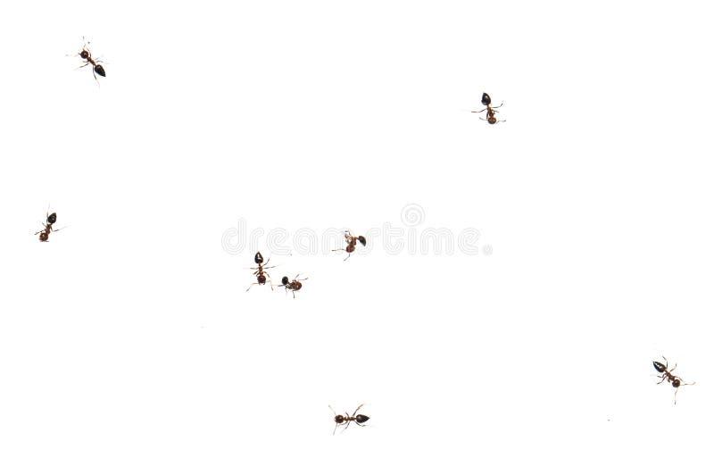 Myra på en vit bakgrund Makro royaltyfri fotografi