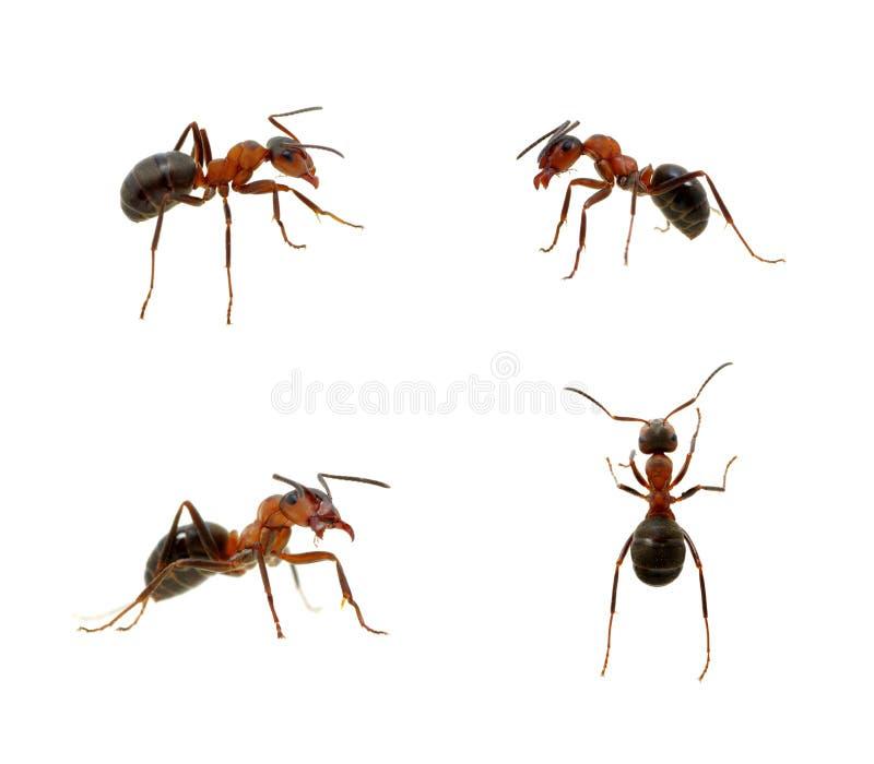 Myra på vit arkivfoton