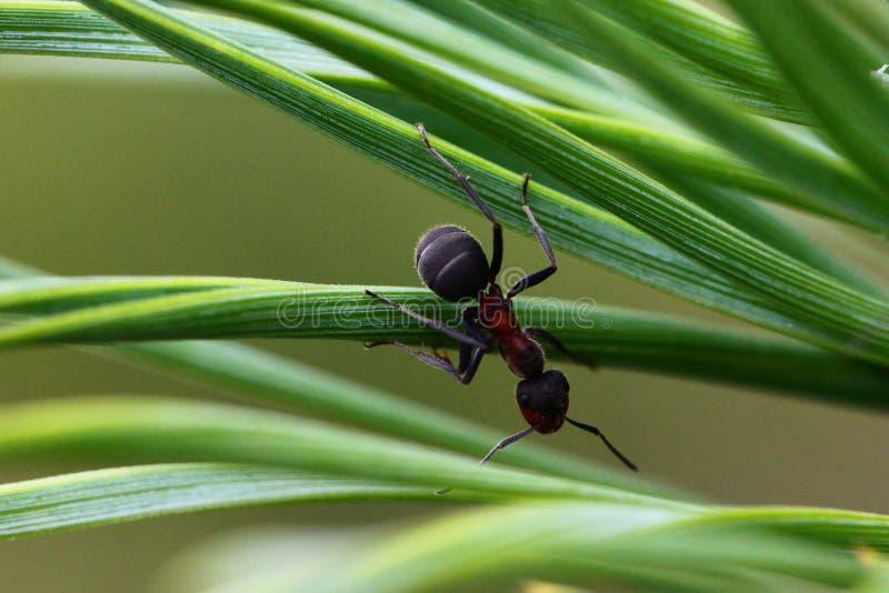 Myran sörjer på trädvisare royaltyfria foton