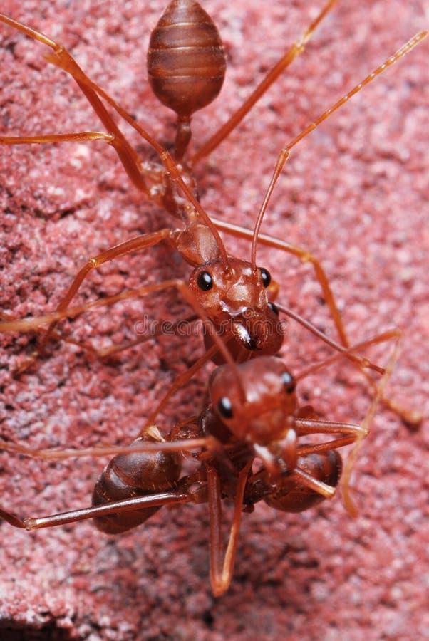 myraredworking arkivbild
